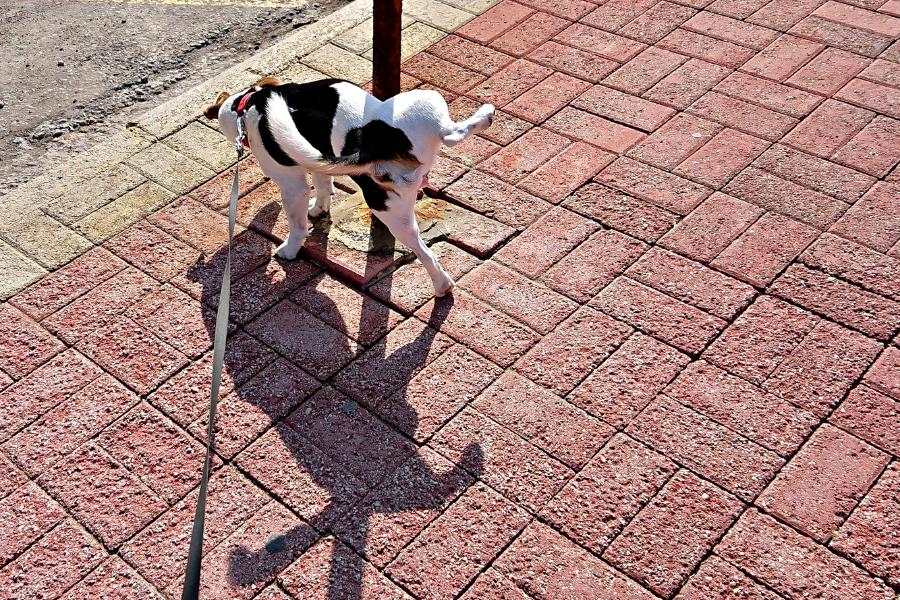 De 3 meest voorkomende urinewegproblemen bij de hond