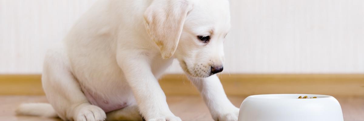 Wanneer mag een puppy overschakelen op voeding voor volwassen honden?