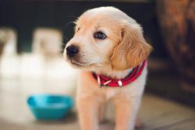 Voedingspatroon van uw pup: hoe vaak, hoeveel voederen?